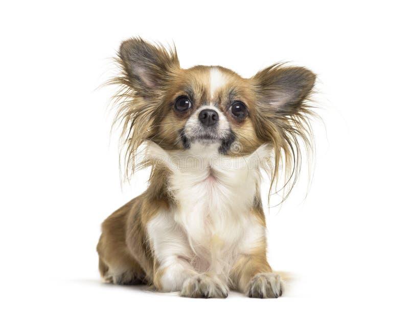 Perro de la chihuahua, 2 años, mintiendo contra el fondo blanco fotografía de archivo