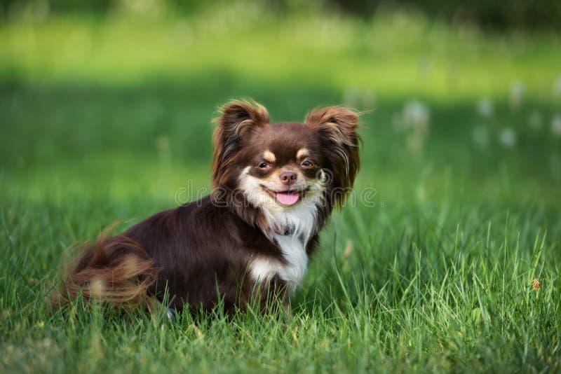 Perro de la chihuahua de Brown que presenta al aire libre imagen de archivo