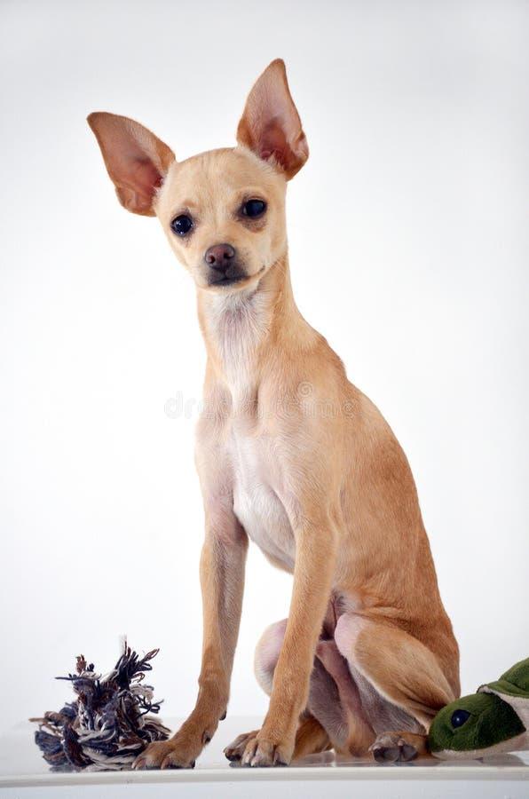 Perro de la chihuahua en el fondo blanco imágenes de archivo libres de regalías