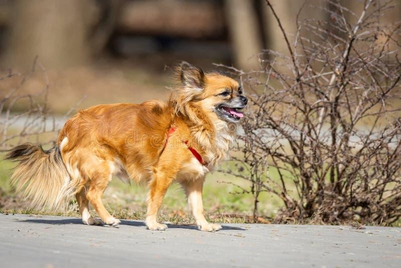 Perro de la chihuahua en el parque imágenes de archivo libres de regalías