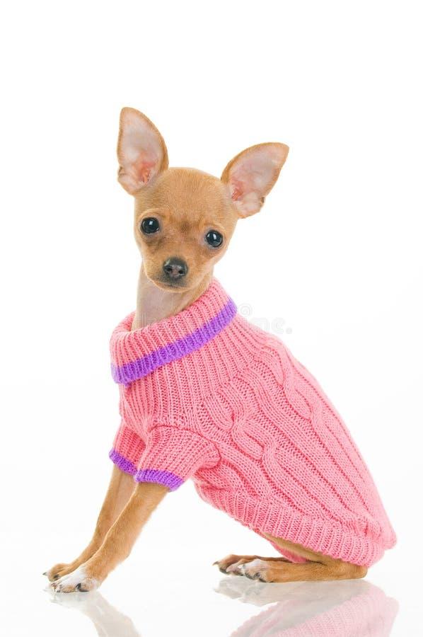 Perro de la chihuahua en suéter rosado foto de archivo