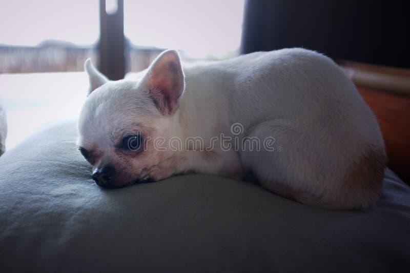 Perro de la chihuahua que duerme en una almohada fotografía de archivo