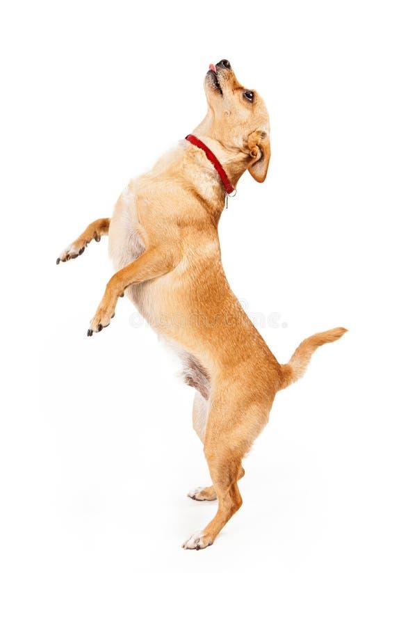 Perro de la chihuahua que pide la invitación imagen de archivo libre de regalías