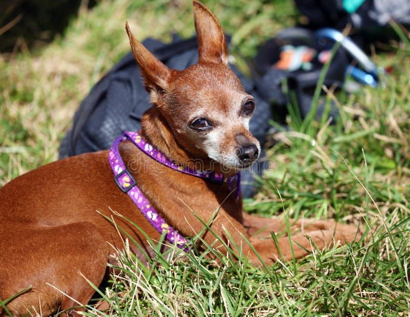 Perro de la chihuahua que pone en hierba verde en el parque en Miami Beach imagenes de archivo