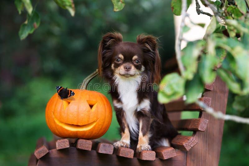 Download Perro De La Chihuahua Que Presenta Con Una Calabaza Y Una Mariposa Talladas Imagen de archivo - Imagen de pequeño, sentada: 100527997