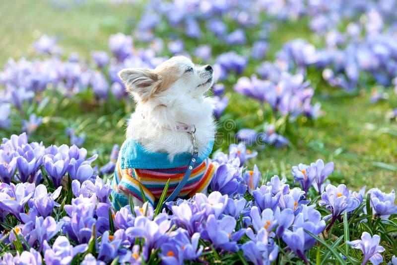 Perro de la chihuahua que sueña entre las flores púrpuras del azafrán fotografía de archivo libre de regalías