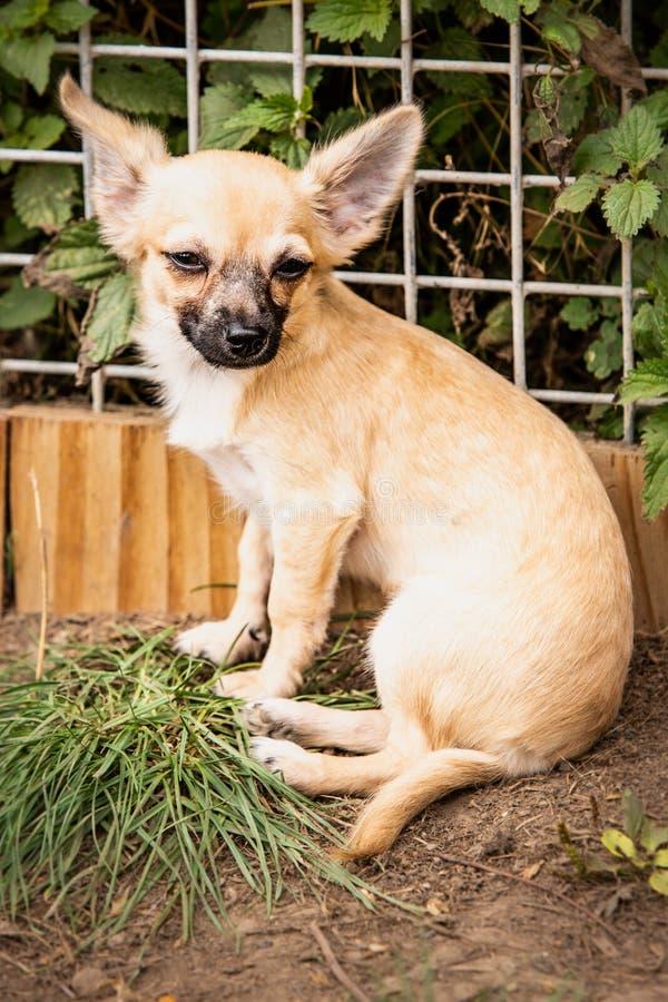 Perro de la chihuahua que vive en Bélgica foto de archivo libre de regalías