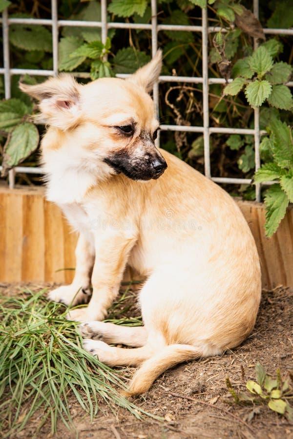 Perro de la chihuahua que vive en Bélgica imagen de archivo libre de regalías
