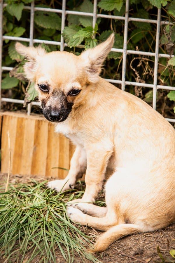 Perro de la chihuahua que vive en Bélgica imagenes de archivo