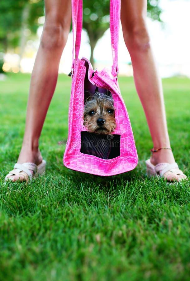 Perro de la diva y de la diva del animal doméstico fotografía de archivo libre de regalías