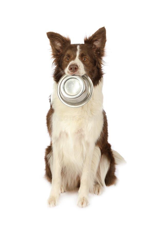 Perro de la frontera del collie con el cuenco vacío de comida de perro en su boca fotos de archivo libres de regalías