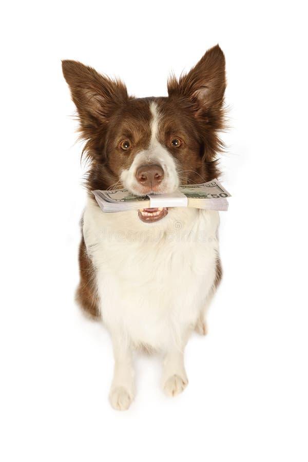 Perro de la frontera del collie con la pila de dinero foto de archivo libre de regalías