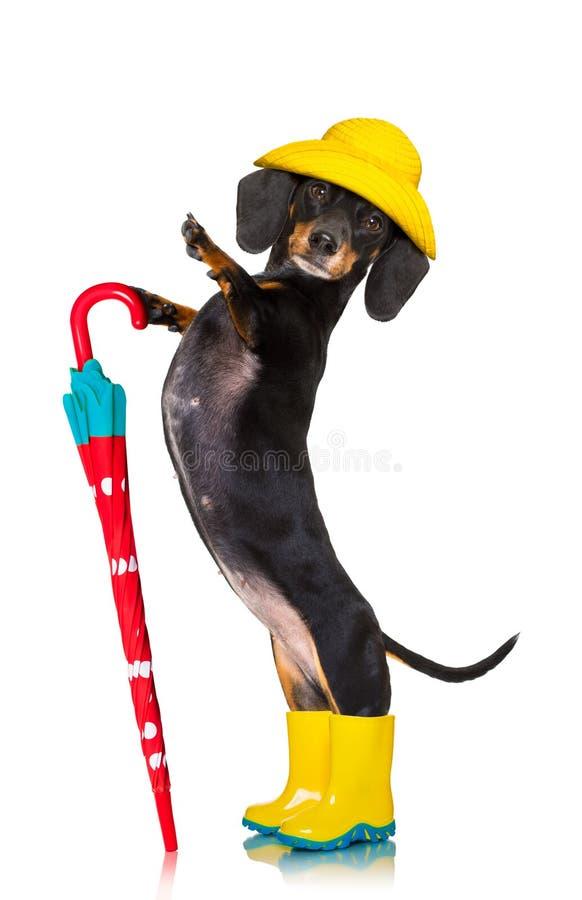 Perro de la lluvia del paraguas del perro basset de la salchicha fotografía de archivo