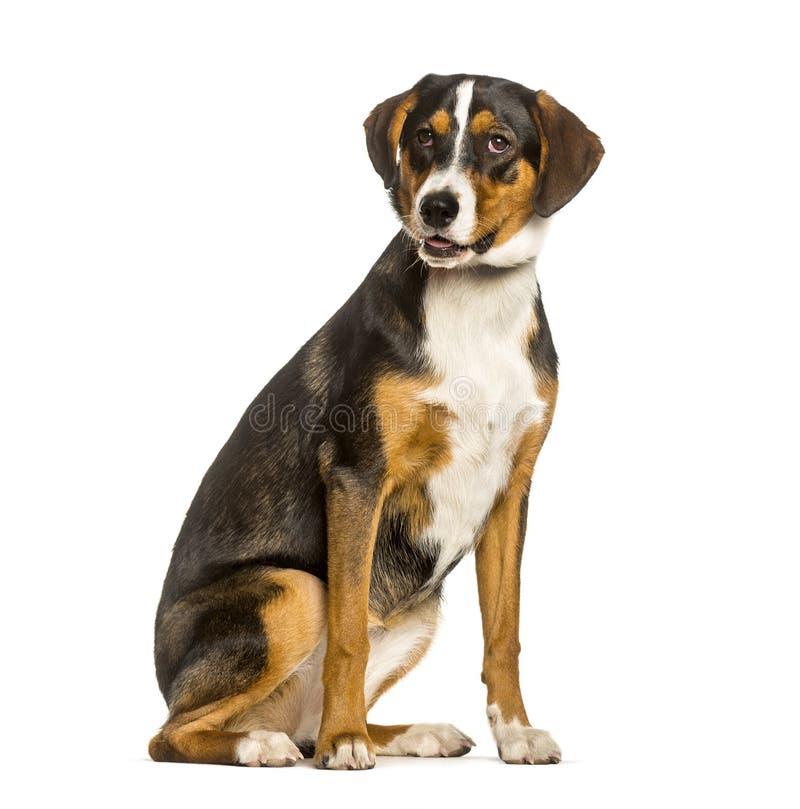 perro de la Mezclado-raza entre un border collie y sentarse de los malinois fotos de archivo libres de regalías