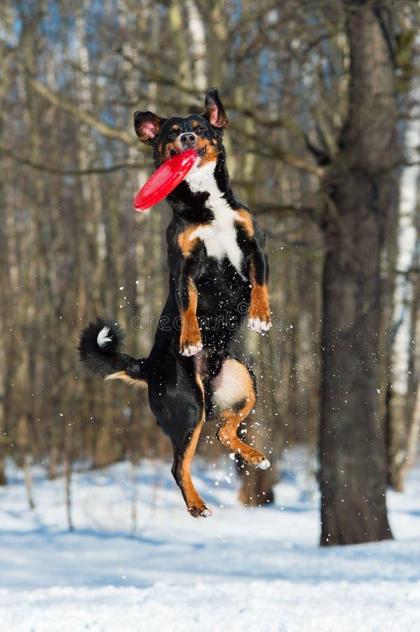 Perro de la montaña de Appenzeller del disco volador con el disco rojo del vuelo fotografía de archivo libre de regalías