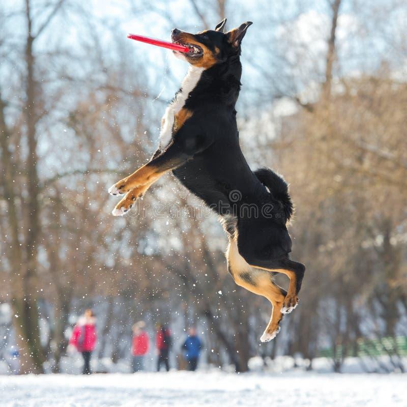 Perro de la montaña de Appenzeller del disco volador con el disco rojo del vuelo fotos de archivo libres de regalías