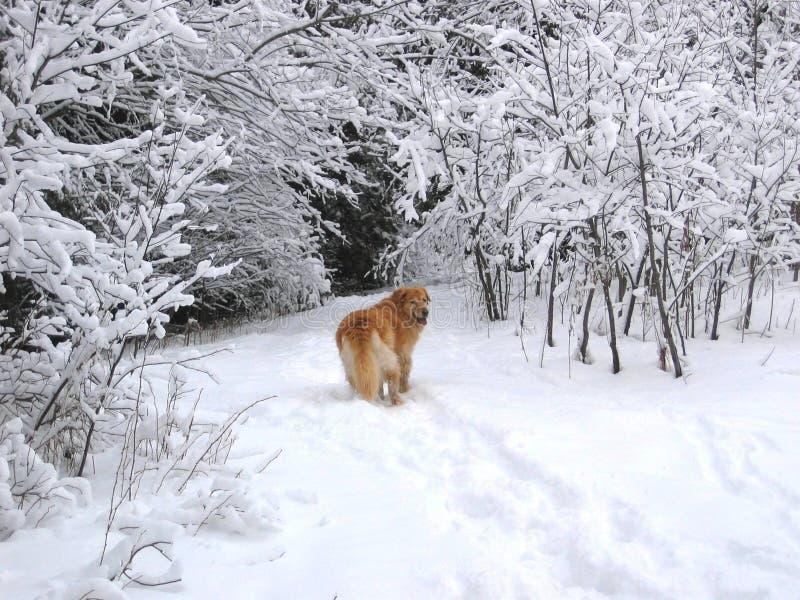 Perro de la nieve imagen de archivo libre de regalías