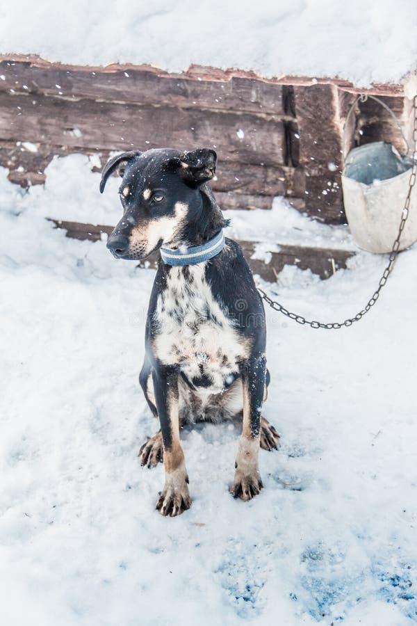 Perro de la nieve el mejor amigo del hombre foto de archivo