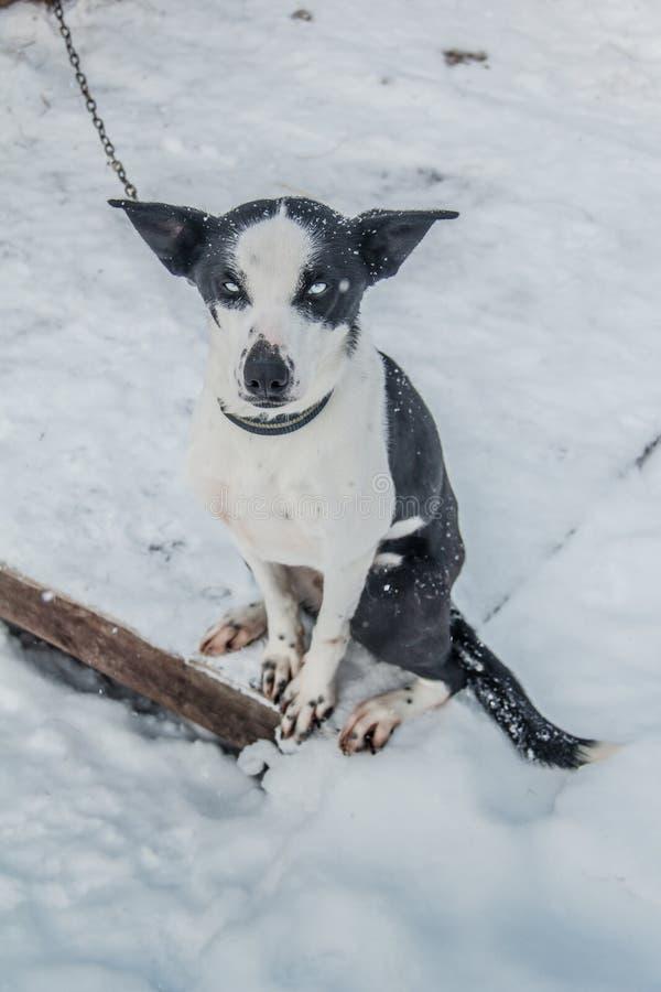 Perro de la nieve de Rusia imagen de archivo libre de regalías