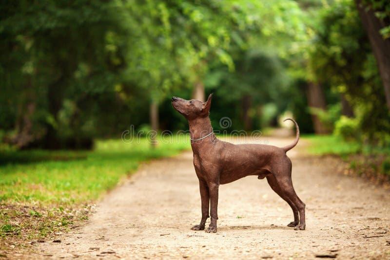 Perro de la raza de Xoloitzcuintli, perro sin pelo mexicano que se coloca al aire libre el día de verano foto de archivo