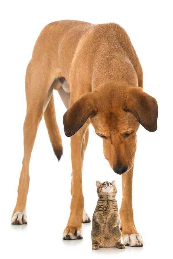 Perro de la raza y gatito mezclados grandes del gato atigrado fotografía de archivo