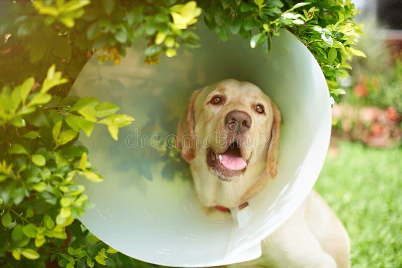 Perro de Labrador con el cuello del cono fotos de archivo