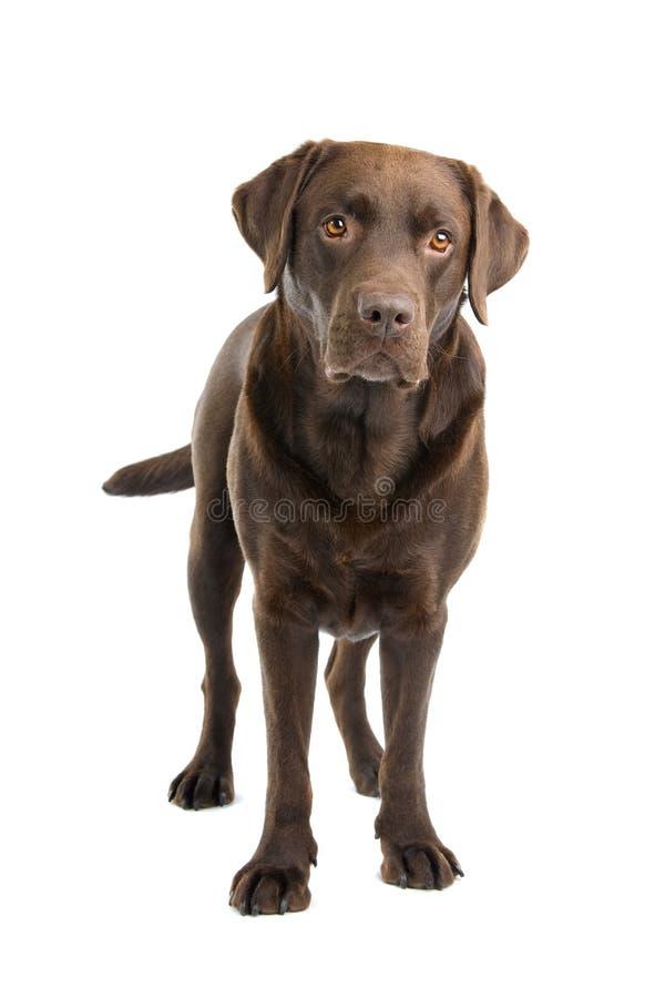 Perro de Labrador del chocolate foto de archivo