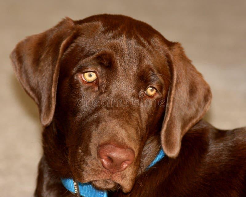 Perro de Labrador del chocolate imagenes de archivo