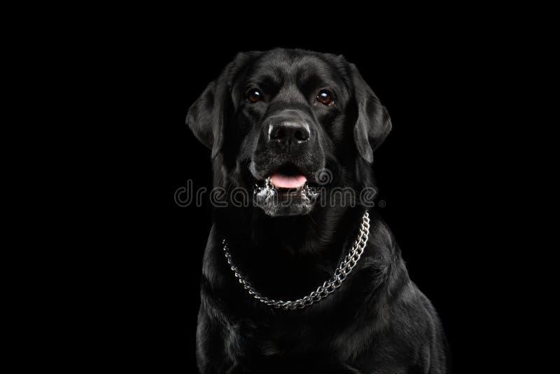 Perro de Labrador del negro del retrato del primer, mirada alerta, vista delantera, aislada fotografía de archivo