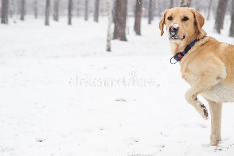 Perro de Labrador en el parque nevado imagen de archivo libre de regalías