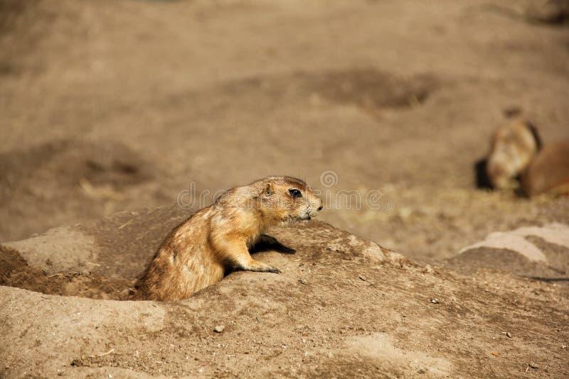 Perro de las praderas (Cynomis Ludovicianus) foto de archivo libre de regalías
