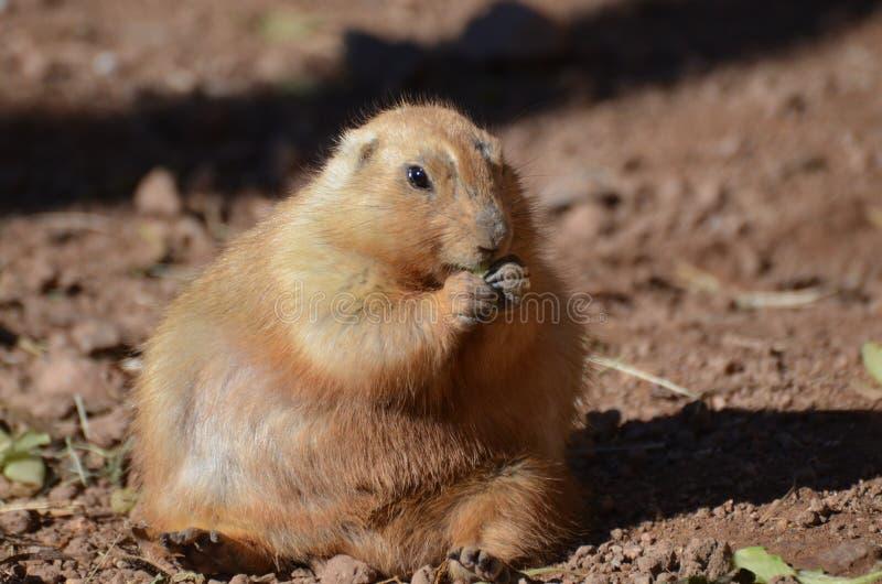 Perro de las praderas gordo muy grande que se sienta en suciedad imagen de archivo libre de regalías