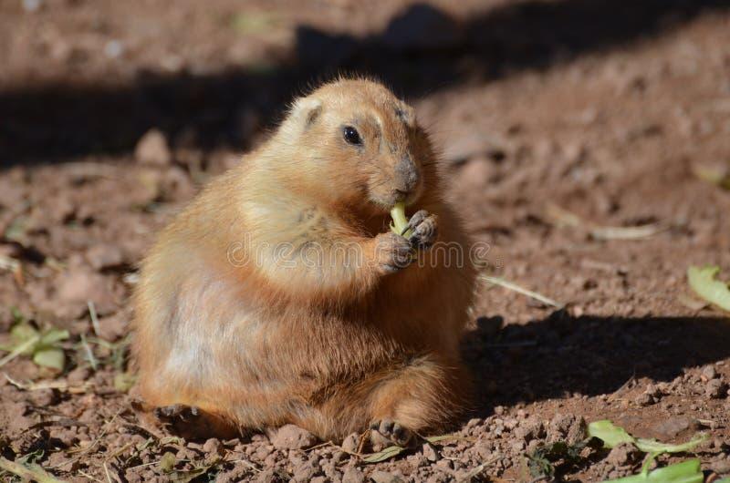 Perro de las praderas gordo que come entusiasta algunos verdes fotos de archivo libres de regalías
