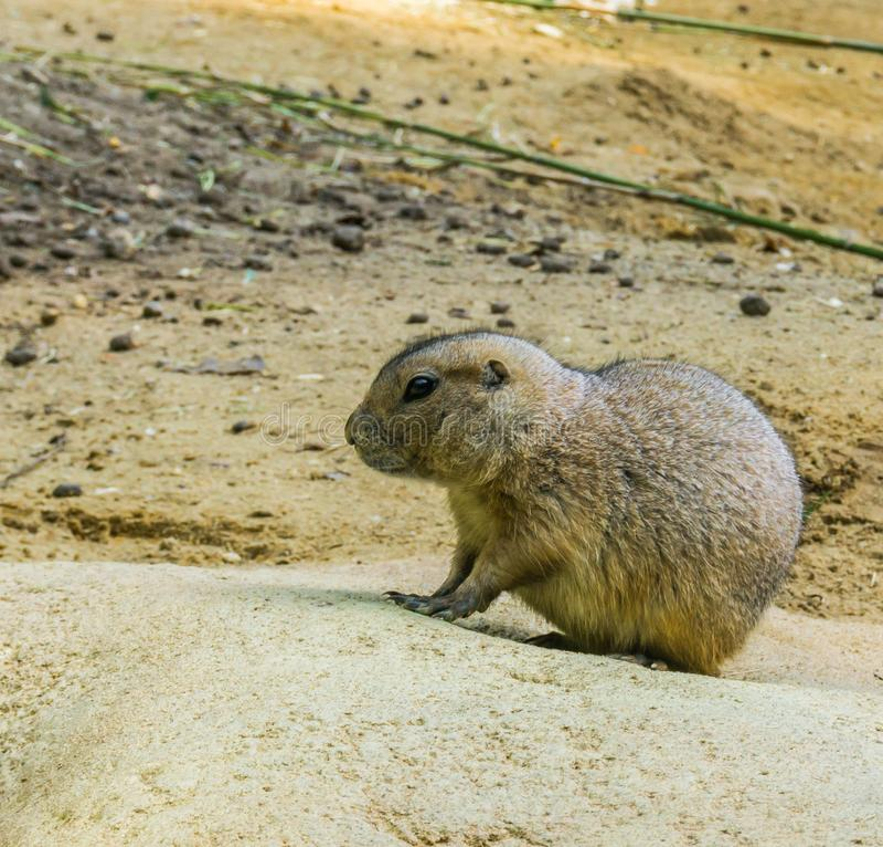 Perro de las praderas muy lindo en una roca en cierre encima del retrato adorable del animal del roedor fotografía de archivo libre de regalías