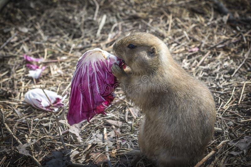 Perro de las praderas que come una ensalada 2 imagen de archivo libre de regalías