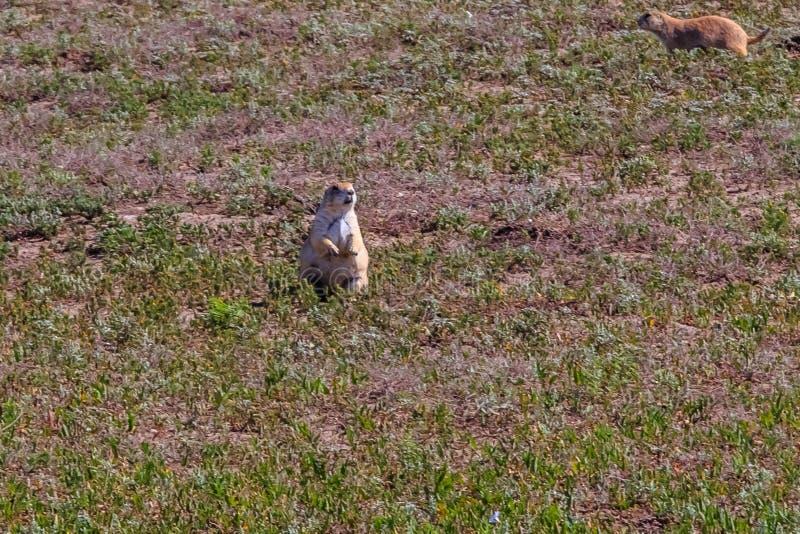 Perro de las praderas que se coloca en hierba corta imagen de archivo