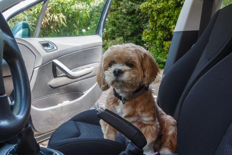 Perro de Lhasa Apso en un coche foto de archivo