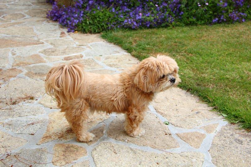 Perro de Lhasa Apso en un jardín fotografía de archivo