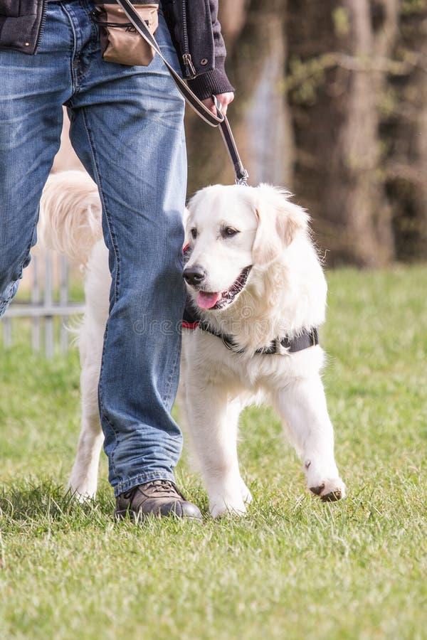 Perro de los perros perdigueros de oro que vive en Bélgica fotografía de archivo libre de regalías