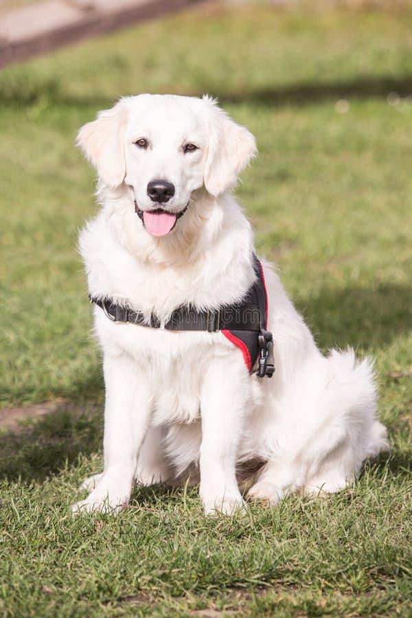 Perro de los perros perdigueros de oro que vive en Bélgica imágenes de archivo libres de regalías