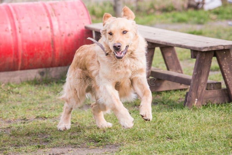 Perro de los perros perdigueros de oro que vive en Bélgica imagen de archivo