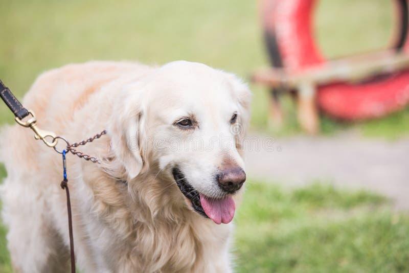 Perro de los perros perdigueros de oro que vive en Bélgica fotografía de archivo