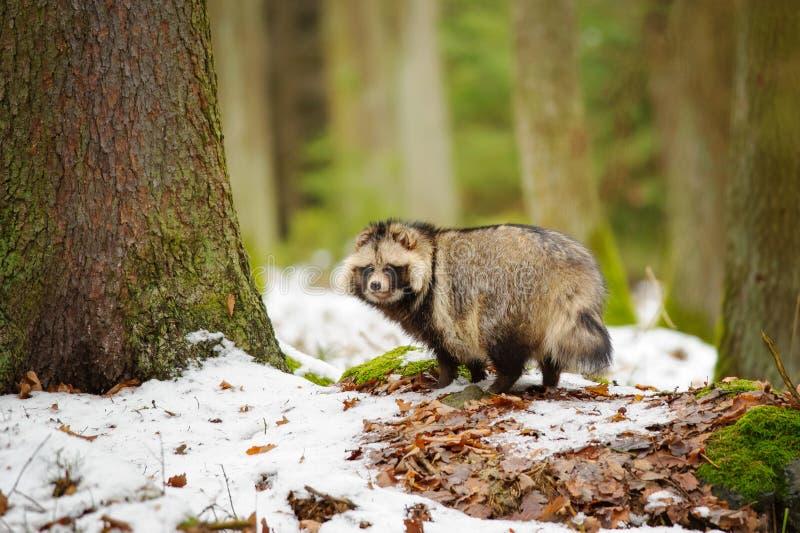 Perro de mapache fotografía de archivo libre de regalías