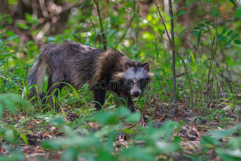 Perro de mapache en el delta de Danubio imagen de archivo