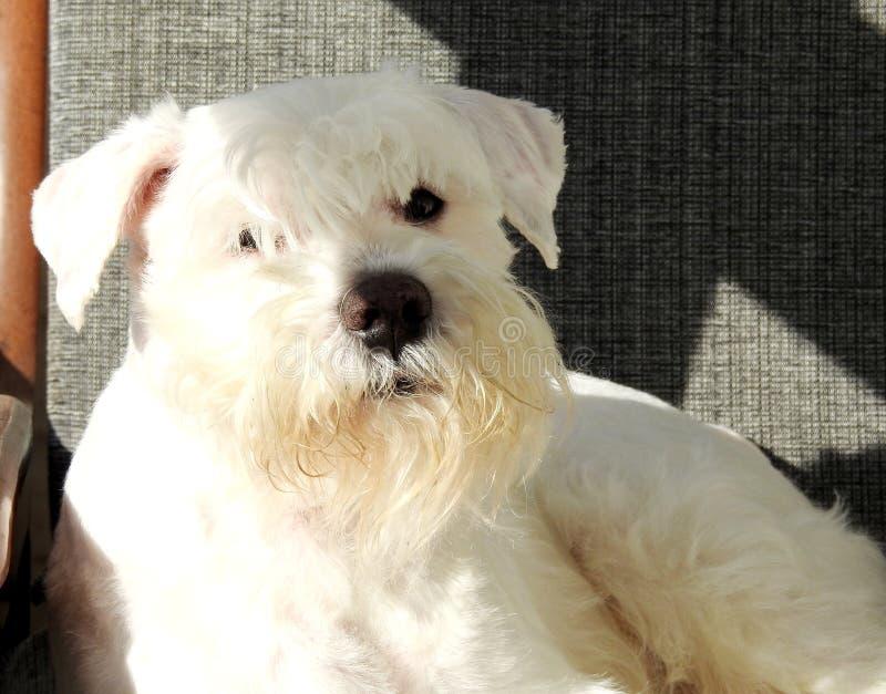 Perro de mirada enojado del Schnauzer fotos de archivo