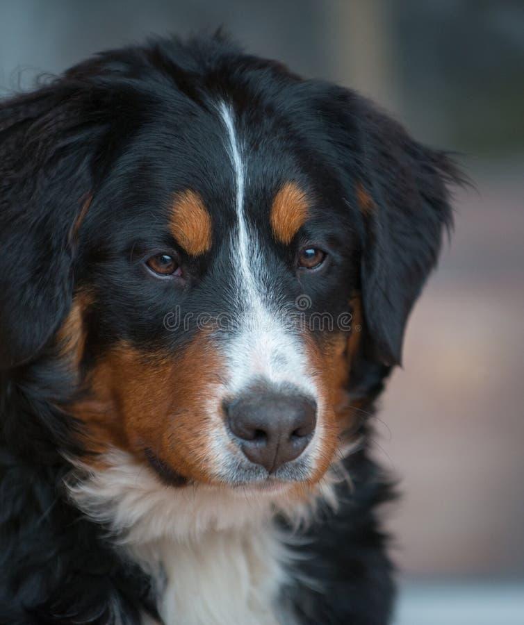 Perro de montaña de Bernese imagen de archivo libre de regalías
