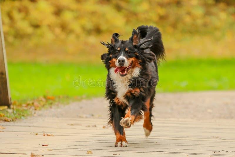 Perro de montaña de Bernese corriente feliz imagen de archivo libre de regalías