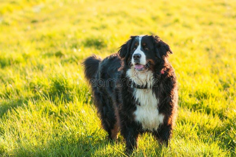 Perro de montaña de Bernese en el prado, paseo de la primavera fotografía de archivo libre de regalías