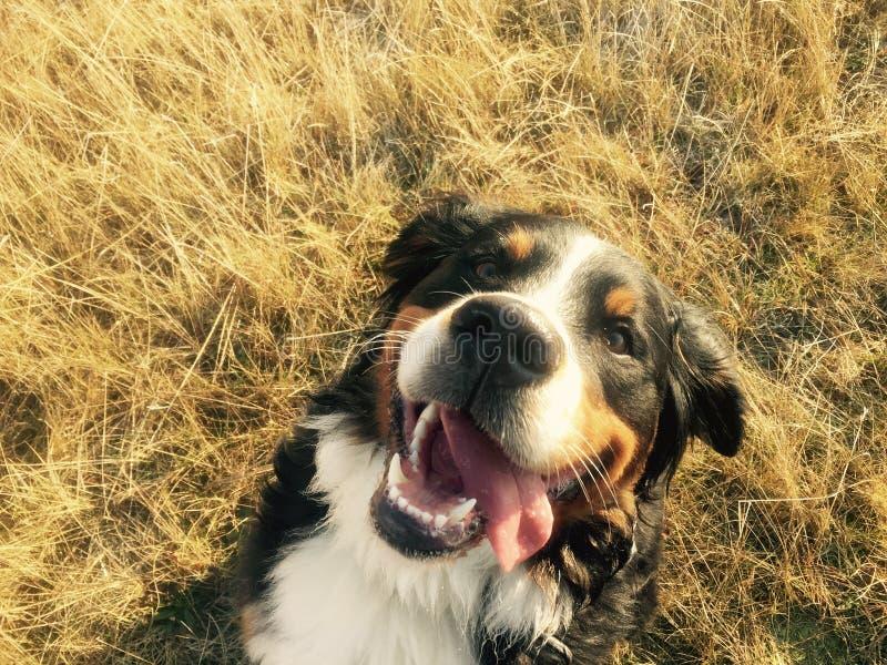 Perro de montaña de Bernese feliz foto de archivo libre de regalías