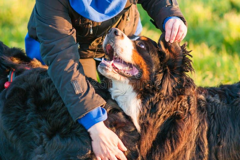 Perro de montaña bernese feliz del pastor en un prado verde fotos de archivo libres de regalías
